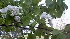 Päärynäpuu kukassa, tule ja hanki kukkivia pihapuita