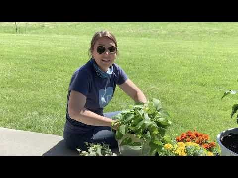 how-to-repot-a-golden-pothos-houseplant:-at-home-with-advocate