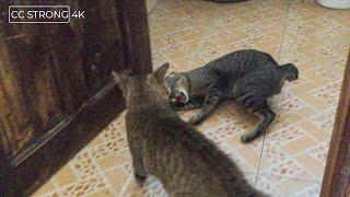 Cat VS Cat bite each other fiercely | CAT VIDES HD 4K