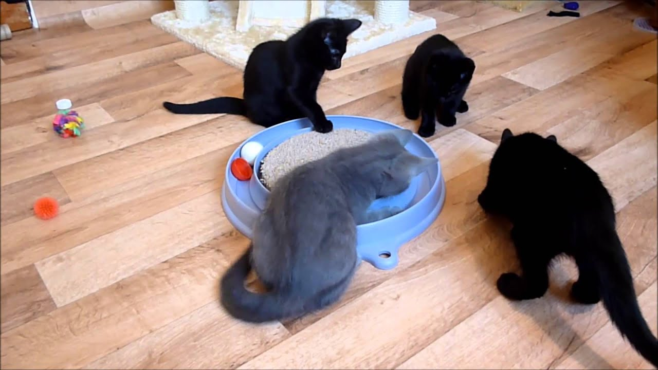 Brightlite Cats UK Russian Blue & Russian Black kittens 10weeks