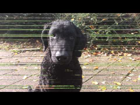 """Just A Curly Coated Retriever """"Bruno's 1e Birthday"""""""
