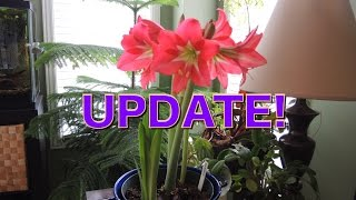 Amaryllis Buds Everywhere! - Amaryllis Update