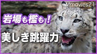 岩壁も!檻も!登っていくユキヒョウ 長い尻尾でバランスを取りながら 旭山動物園のジーマとユーリ Snow Leopard mom & daughter