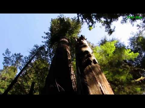 Virtual Hike: Giant Redwood Grove Forest, Actual Sounds 33min (#7A)