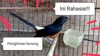 Download Video INI RAHASIA!!!! Cara mengirim burung murai batu keluar kota melalu jalur kereta dengan agen......... MP3 3GP MP4