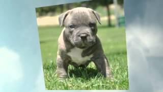 Pitbull Muscle Training