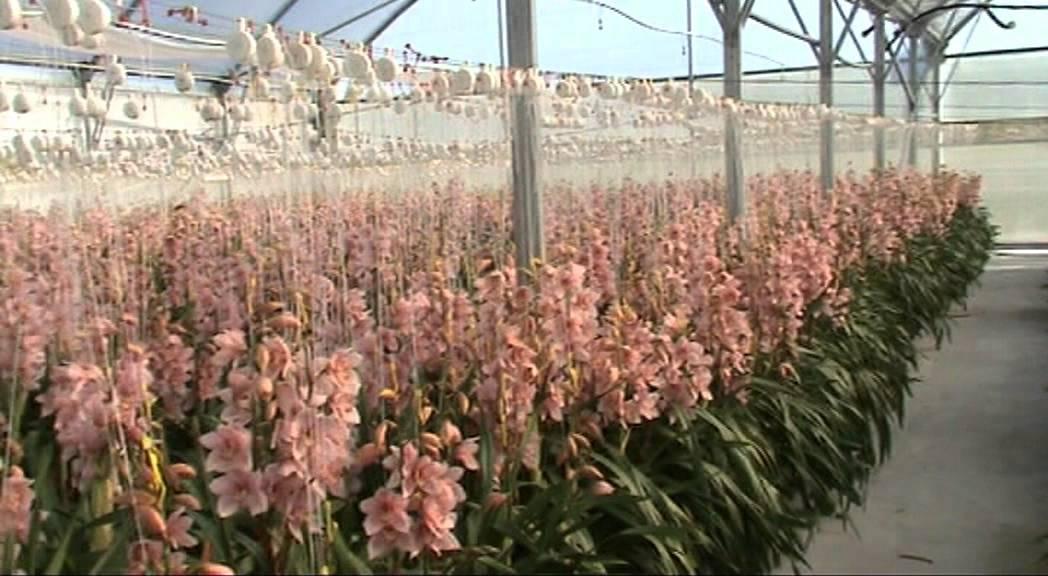Cymbidium Production At New Zealand Bloom Supplier Youtube