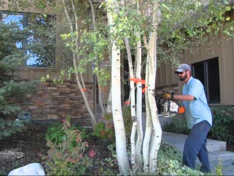 Don't be afraid to prune crowded and/or infested multiple trunk aspen trees!