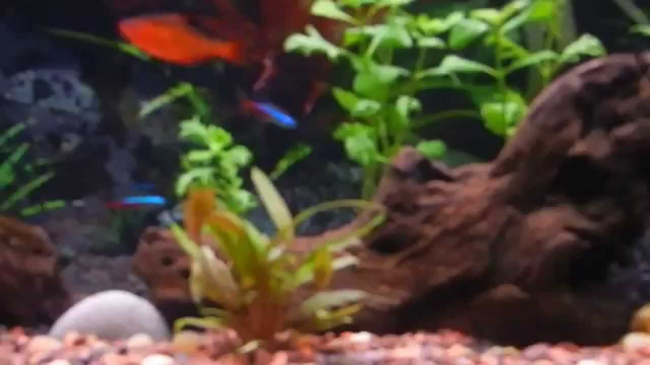60 Gallon Freshwater Planted Fish Tank   YouTube