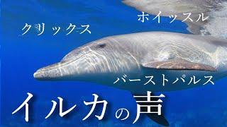 イルカと遊ぶ。イルカとつながる。ドルフィンスイム 】 御蔵島やバハマで撮影した映像のうち、イルカの様々な声・音が入っているものを集め...