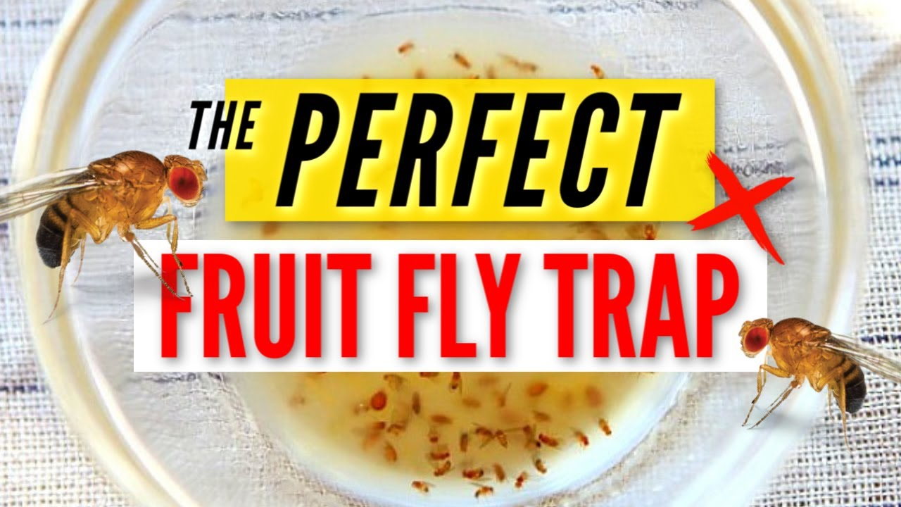 THE PERFECT FRUIT FLY TRAP | easy DIY, effective & simple life hack!