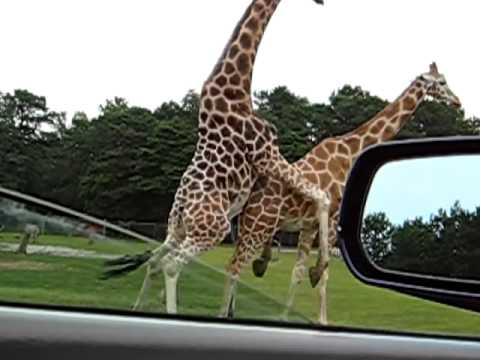 Жираф занимаеться сексом