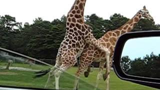Жирафы занимаются сексом