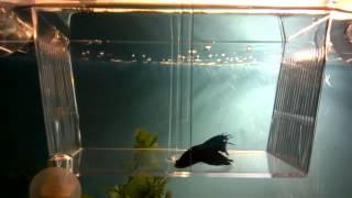 Рыбка петушок (Бойцовая рыбка)