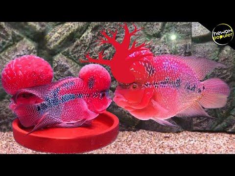 Inilah Jenis Ikan Louhan Tercantik Di Dunia Yg Bisa Dipelihara Di Aquarium