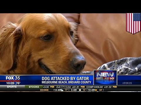 Alligator vs dog: Man saves his golden retriever from the jaws of huge Florida gator - TomoNews US  - FJHAjJXwQDs -