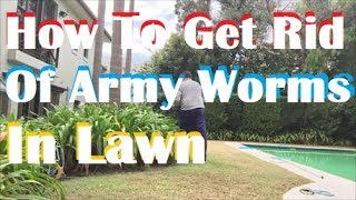 How To Get Rid Of Army Worms In Your Lawn - [Army Worm Control] [Army Worms In Lawn]