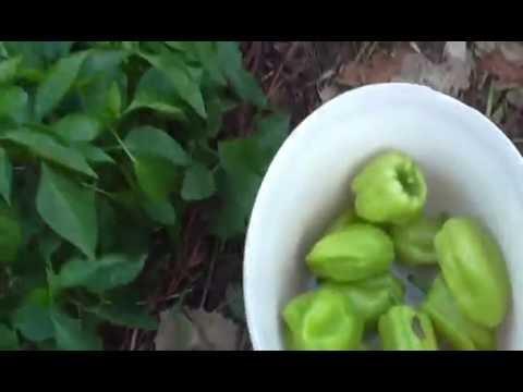 Собираем урожай перцев. Болгарский перец