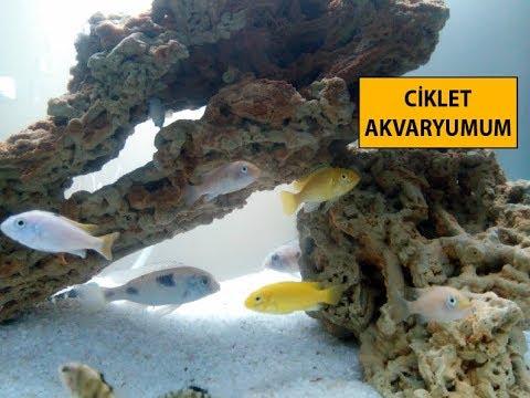 Ciklet Balığı Akvaryumu Nasıl Olmalı