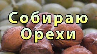 урожай на Грецкие Орехи Нормалёк