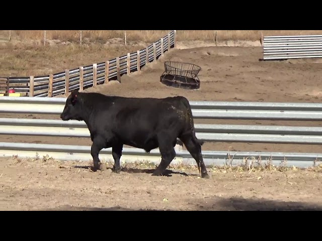 Connealy Angus Lot 44