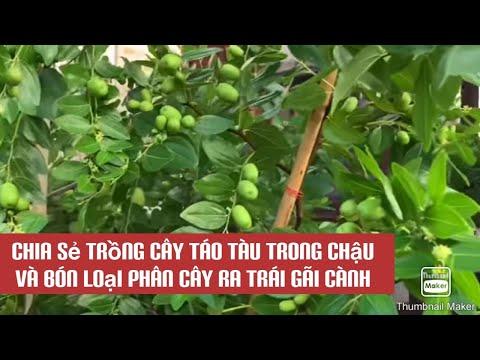 Chia sẻ trồng cây táo tàu trong chậu.và bón loại phân trái sum suê...