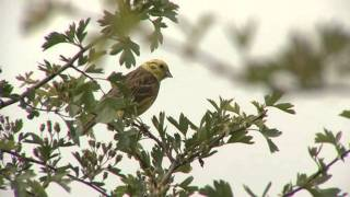Yellowhammer Song ID