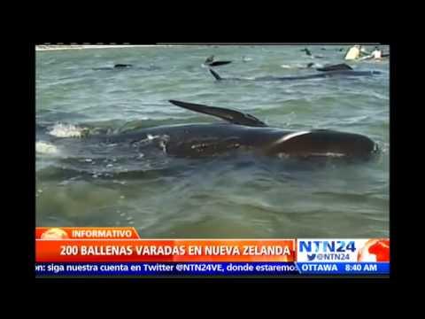 Operacin De Rescate Cerca 200 Ballenas Permanecen Varadas En Una Baha Nueva Zelanda