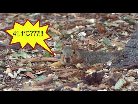 ecfcd719bb8b38 For more infomation >> How squirrels stay cool in the Summer  heat♡リスの夏バテ対策びろーん - Duration: 2:32.