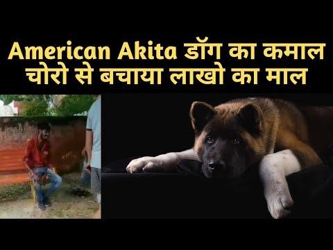 अमेरिकन-अकिता-डॉग-का-कमाल-चोरो-का-बजाया-बैंड-और-बचाया-लाखो-का-माल-|-american-akita-protects-home