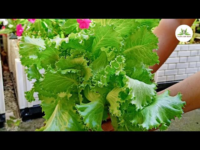 Cùng Vườn Sài Gòn thu hoạch rau thủy canh xanh mướt