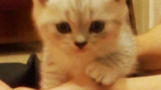 Продам котят шотландский Скотиш страйт родились 19.06.2016