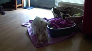 """Sharky De """"mini"""" Bull Terrier Lekker Spelen Met Mijn Beste Vriendje Jimmy"""