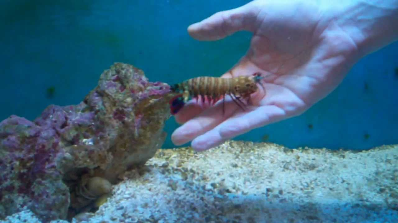 Playing with another Peacock Mantis Shrimp. - YouTube