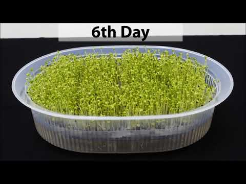 Baba Microgreen Box Cultivation easy steps! Baba 养生菜苗盆