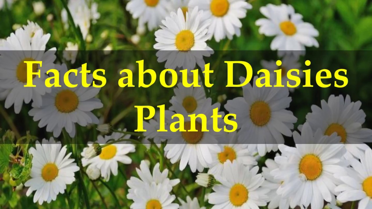Facts about daisies plants youtube facts about daisies plants izmirmasajfo