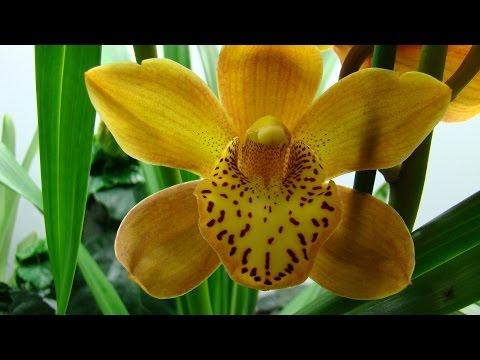 Орхидея Цимбидиум, рост Цимбидиума. Орхидеи - Ванда, Фаленопсис, Дендробиум, Камбрия, Мильтония.