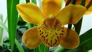 Орхидея Цимбидиум, рост Цимбидиума. Орхидеи - Ванда, Фаленопсис, Дендробиум, Камбрия, Мильтония.(, 2015-03-04T20:08:02.000Z)