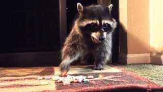 Raccoon opens screen d๐or to eat fruit loops