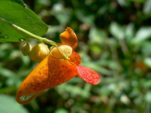 Jewel Weed Seed Pods Explode