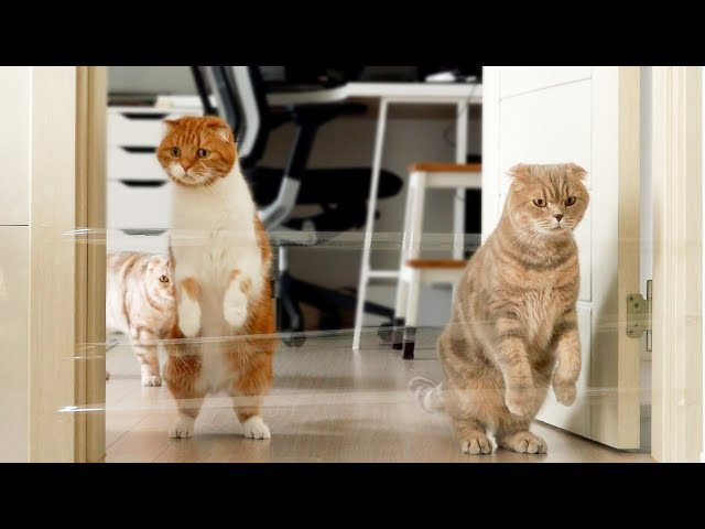 실제로 없는 장애물을 넘었을 때 고양이들의 반응은?