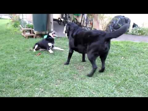 Ellie (Kelpie x) and Alfie (Labrador) playing