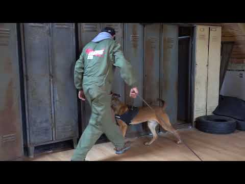 Franz Belgian Malinois Detection Inside And Outside
