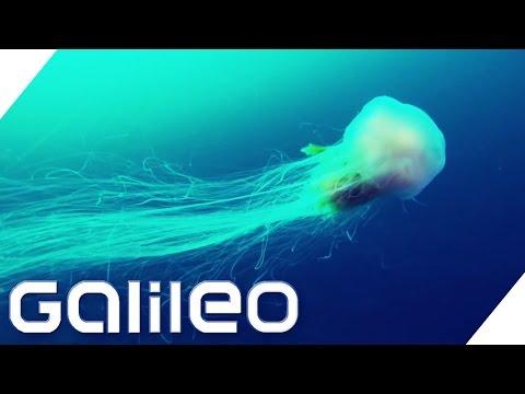 Giganten Der Tierwelt | Galileo Lunch Break