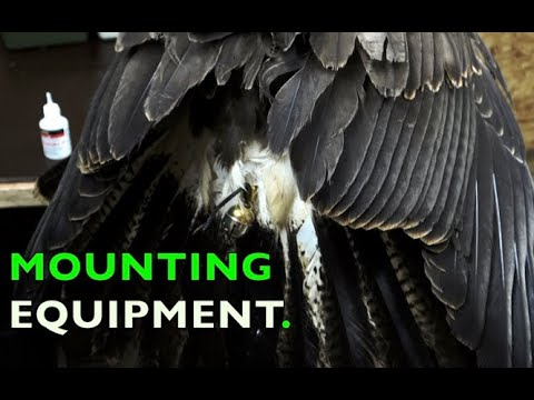 BASIC FALCONRY EQUIPMENT FOR EAGELS, HAWK, FALCONS AND RAPTORS. HUNTING AND DEMO BIRDS.