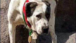 Алар чемпион Кизиларвата 2020 внук Лал Ёлбарса Туркменский Волкодав Turkmen it Champion Dog Alabai