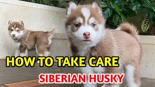 how to take care siberian husky /siberian husky