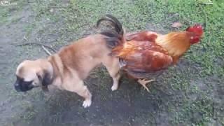 Скрещивание собаки с петухом. animal breeding Dog on Rooster.