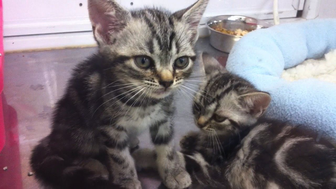 Two baby American Shorthair cats