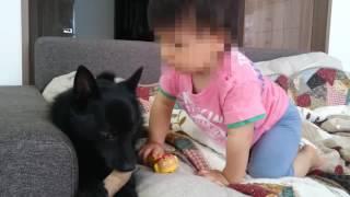 スキッパーキのクー(1歳10か月)と赤ちゃんA太(11か月)。 クーがおも...